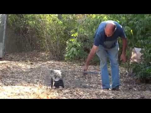 How to (NOT) Release a Skunk from a Trap ~ Man VS Skunk ~ Man gets Sprayed by Skunk
