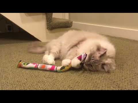 Ragdoll Cat Chiggy with the Pet Candy Caterpillar Catnip Toy from The Cat Connection in Dallas 🐱 🐈