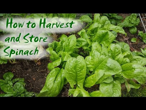 How to Harvest and Store Spinach and other Greens
