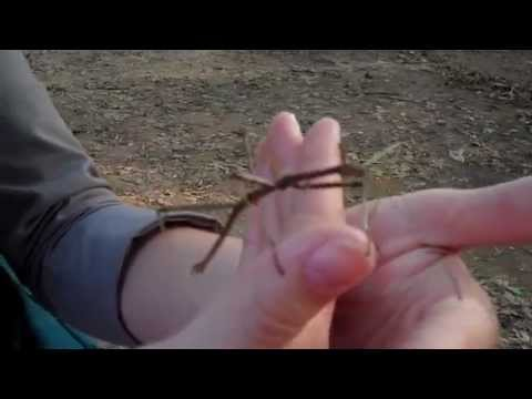 Parrott and Stick Insect at Monte Sano