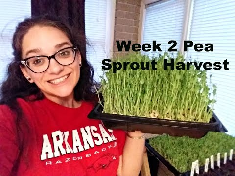 Week 2 Pea Sprouts Harvest
