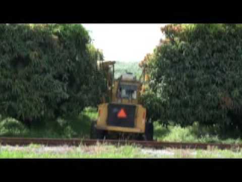 How We Prune 40 Acres of Mango Trees