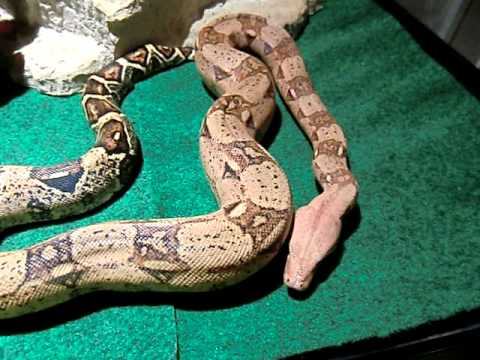 New Colombian Red Tail Boa Constrictor - Vidly xyz