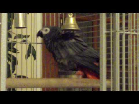 African Grey taking a bath