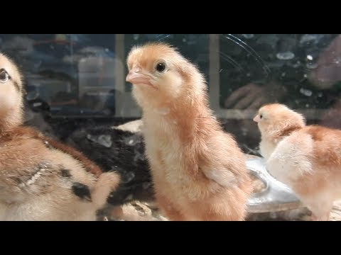 Chickens we hatched this week...