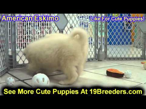 Chow Chow Puppies For Sale In Allegheny Pennsylvania Pa