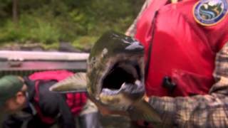 Salmon Cannon
