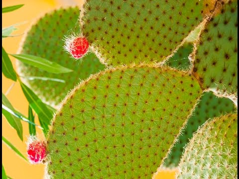 Prickly Pear Cactus Leaf Magic!