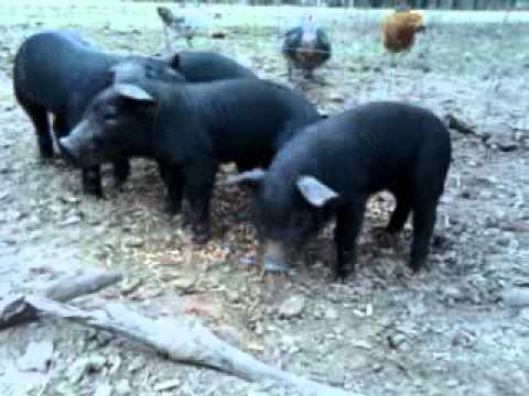 New Piglets