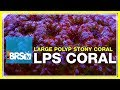 Week 36 Large Polyp Stony Corals Lps Selection Care And Plac