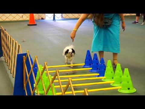 Hestia's pre agility class: week 4