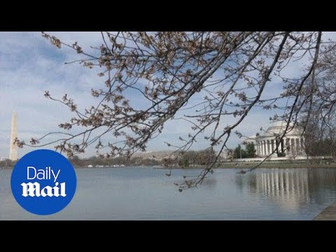 Cold weather kills half of Washington DC's cherry blossoms - Daily Mail