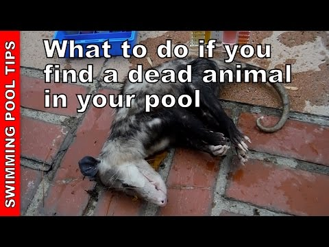 What to do if you Find a Dead Animal in the Pool