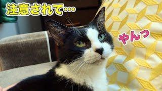 Download 台所に登ったのを見られて小声で言い訳する猫【じゃんけんタイムあり】 Video