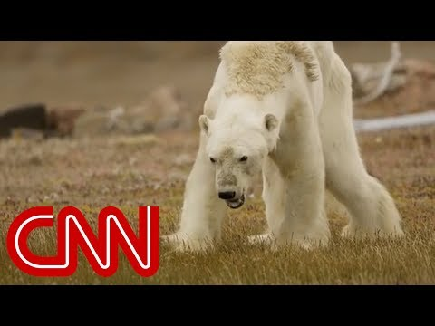 What happened to this starving polar bear?