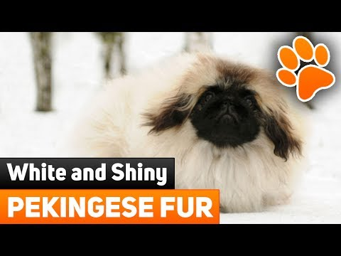 How To Whiten And Make Your Pekingese Dog's Fur Shinny?