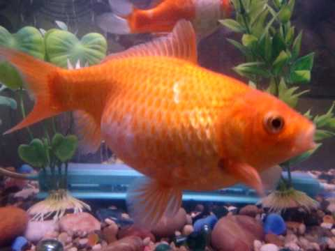 my goldfish is pregnant *gassps*