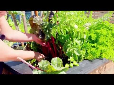 How to Prune Swiss Chard