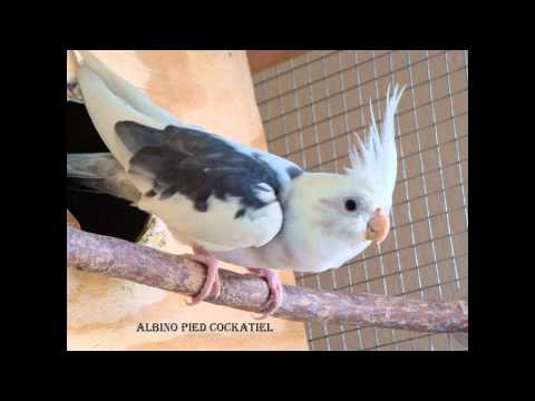 Cockatiels colors with name