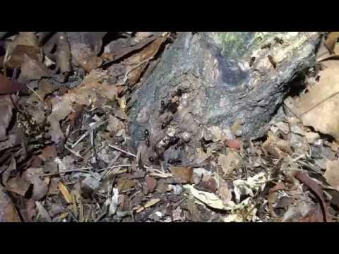 Florida Carpenter Ants feeding on Tuliptree Scale Honeydew