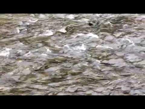 Hokkaido Salmon Spawning Season