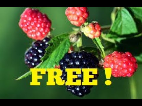 FREE BLACKBERRY PLANTS ~ DON'T MISS OUT!