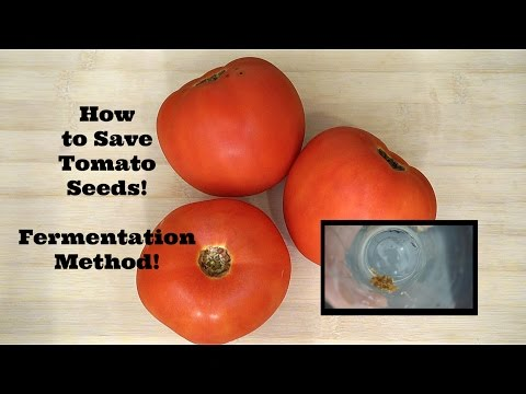 How to Save Tomato Seeds! Fermentation Method!