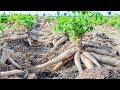 Asian Agriculture Technology Farm Awesome Cassava Cultivation Farming And Harvesting