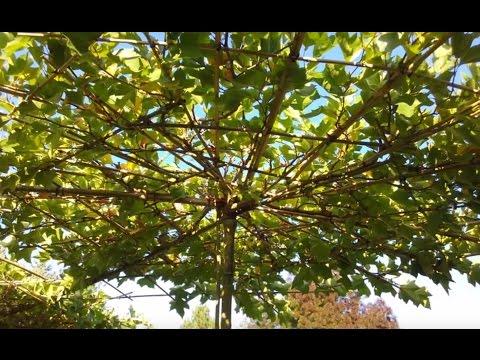 Platanus 'Alphens Globe' (Roof Plants)