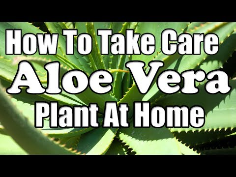 How To Take Care Of Aloe Vera Plant At Home