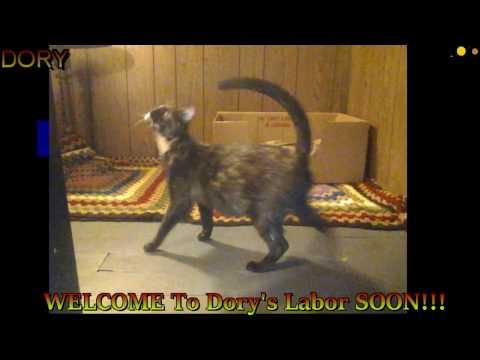 My Cat Dori's Labor Soon