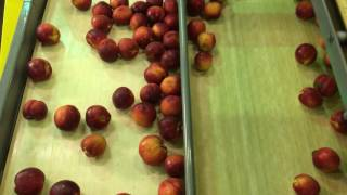 How N.J. peaches make from the farm to the store