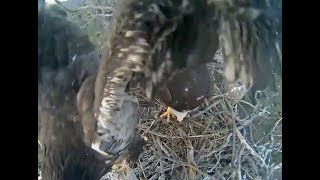 Big Bear Eagle Cam ~ Stormy Branches For The First Time! 4.21.18