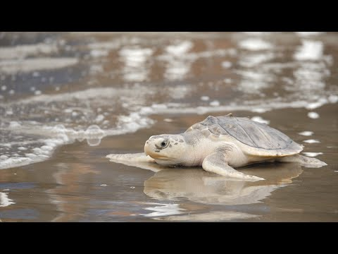 Saving Sea Turtles - A Houston Zoo Original Story