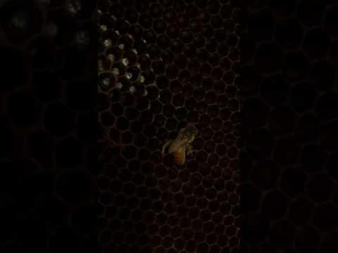 queen bee with a broken/ injured leg