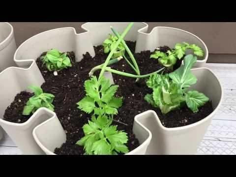 Growing Vegetable Scraps to Get Free Seeds!