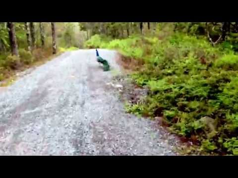 peacock in the driveway