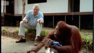 Attenborough: Amazing DIY Orangutans | BBC Earth