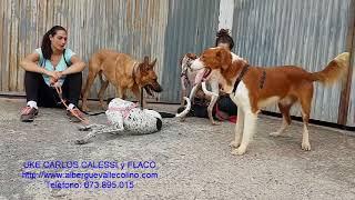 Download Albergue Valle Colino, UKE (Adop), CARLOS (Adop), KALESSI (Adop) y FLACO en adopción Video