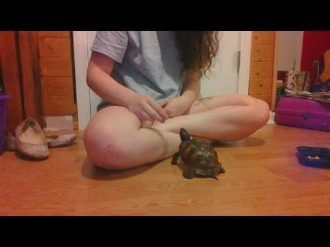 Hand Feeding My Eastern Box Turtle