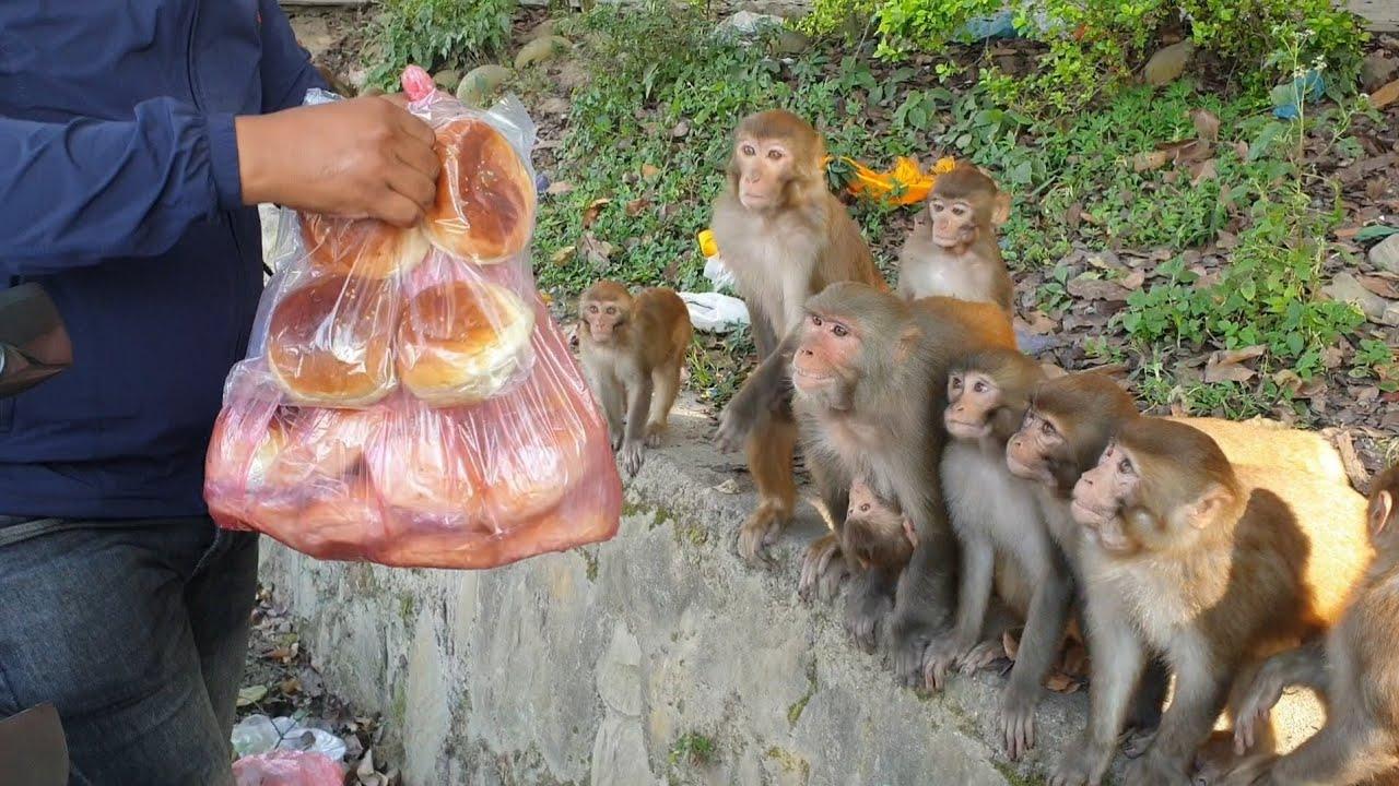 Feeding a group of monkey Bakery items cake bread buns || A real man feeding group of monkey