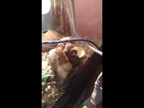 Brevimanus hermit crab shell change