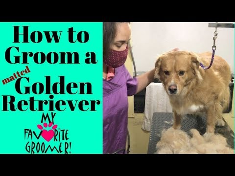 How to Groom a Golden Retriever Matted