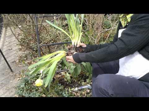 How to Split Bulbs & Store Daffodils