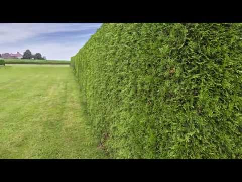 A focus on Leylandii hedging: All you need to know about Cupressocyparis leylandii