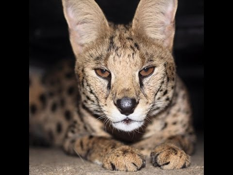 SERVAL Cat is Mean!