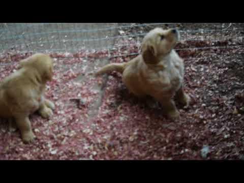 Akc Registered Golden Retriever Puppy For Sale Sugarcreek Ohio