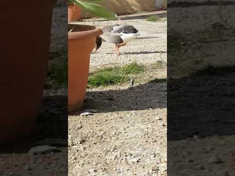 Greylag geese call
