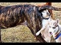LAUGH Or DIE LAUGHING FUNNIEST DOG Compilation