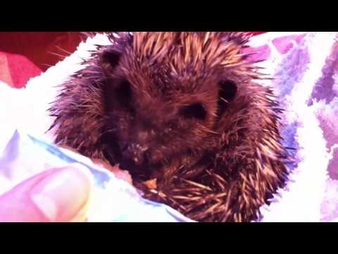 Handfeeding a sick hedgehog for two minutes